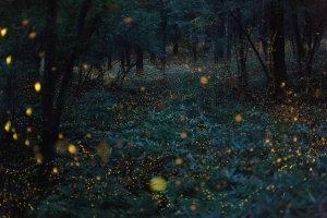 Takehito Miyatake photo of hime botaru (princess fireflies)